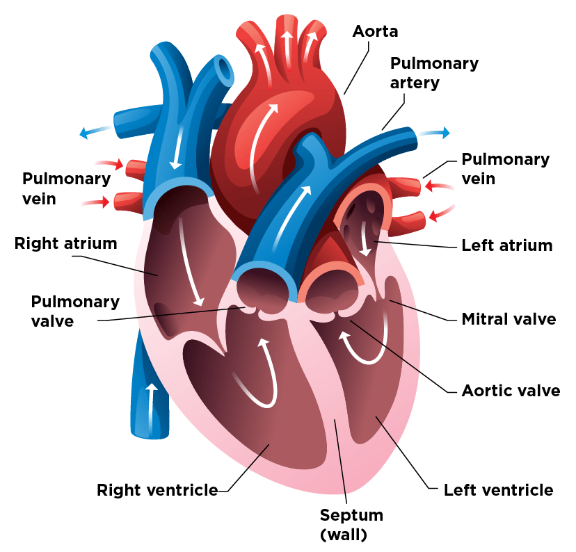 Diagram of how the heart works