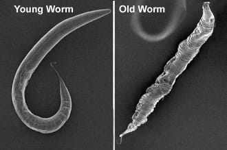 ith a lifespan of only three weeks, C. elegans, helps the Ghazi Lab understand the genetics of aging.