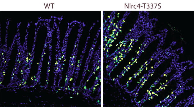 Increased proliferation of intestinal epithelial cells in NLRC4 gain-of-function mice.