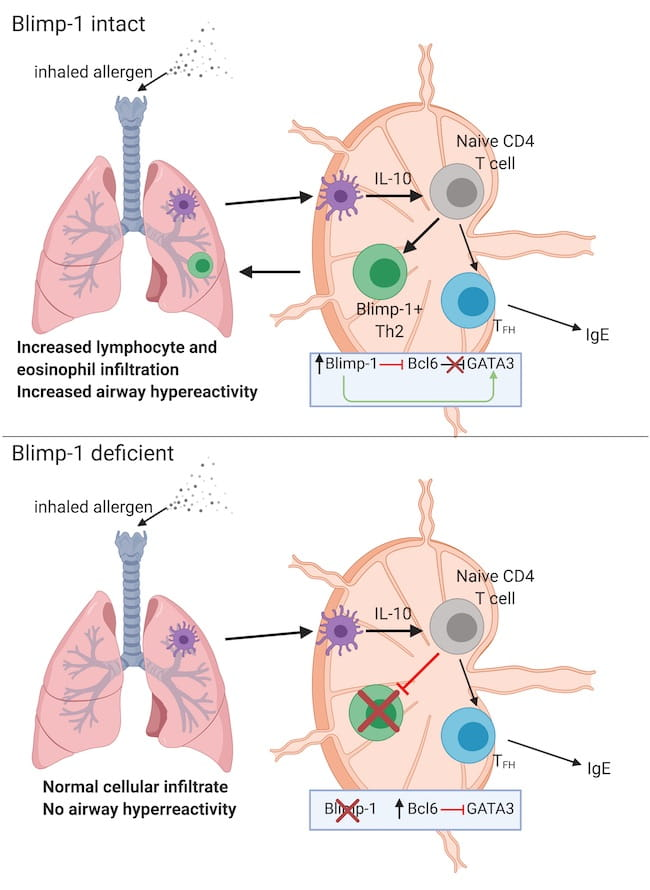 Tissue-specific functions of Blimp-1 in CD4 T cells
