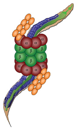 The intertwined worm and proteasome in this schematic represents the significance of C.